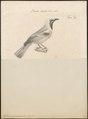 Phyllornis cyanopogon - 1700-1880 - Print - Iconographia Zoologica - Special Collections University of Amsterdam - UBA01 IZ16400049.tif
