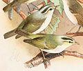 Phylloscopus occipitalis 1889.jpg