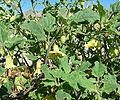 Physalis hederifolia var palmeri 5.jpg