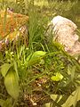 Phyteuma spicatum 2015-05-23 - 03.jpg
