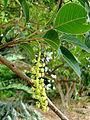 Phytolacca weberbaueri, flowers (8671566379).jpg