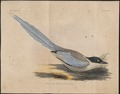 Pica cyana - 1833-1850 - Print - Iconographia Zoologica - Special Collections University of Amsterdam - UBA01 IZ15700189.tif