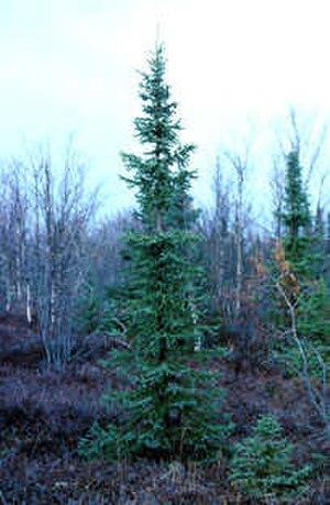 Symbols of Newfoundland and Labrador - Tree: black spruce