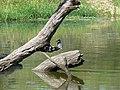 Pied kingfisher (393953876).jpg
