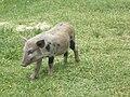 Pig 1, Savaii, Samoa.JPG