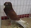Pigeon boulant d'Alsace rouge cendré écaillé.jpg