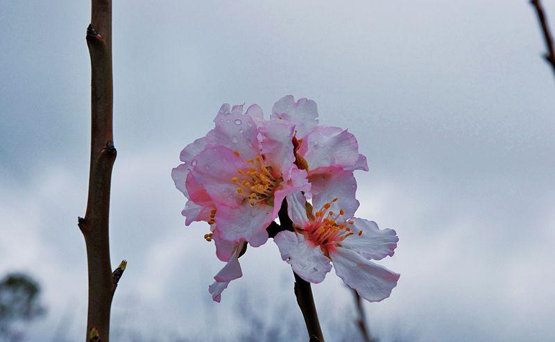 פרחי השקד לאחר רחצה בגשם