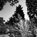 Pinaceae.jpg