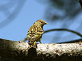 Pine Siskin, Carduelis pinus; adult, back view; in Wyoming.JPG