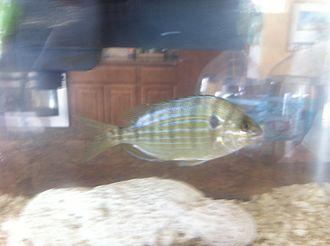 Lagodon rhomboides - Photo of a live pinfish, Lagodon rhomboides