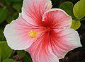 Pink & White Hibiscus (7016757353).jpg
