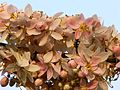 Pink Shower Cassia (460199167).jpg