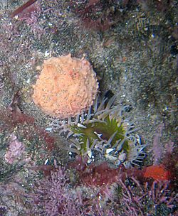 Pink golf ball sponge and sea anemone, in a Piha rock pool.jpg