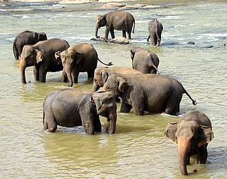 Wildlife of Sri Lanka - Sri Lankan elephant (Elephas maximus maximus), one of the three recognized subspecies of Asian elephant, which is the largest of them all.