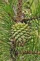 Pinus-pungens-04.JPG