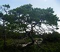 Pinus clausa.jpg