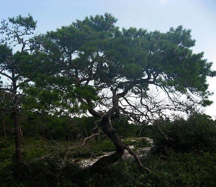 File:Pinus clausa.jpg