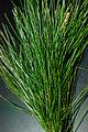 Pinus luchuensis foliage.jpg