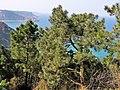 Pinus pinaster. Pinu bravu.jpg