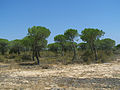 Pinus pinea trees Doñana.jpg