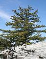 Pinus pungens, Hanging Rock SP 1.jpg