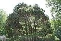 Pinus strobus Nana 5zz.jpg