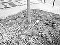 Place Jussieu - plantation arbre.jpg