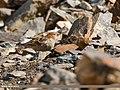 Plain Mountain Finch (Leucosticte nemoricola) (38624910341).jpg
