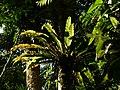 Plant Fern Bird Nest Asplenium P1120347 01.jpg