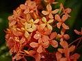 Plant Ixora P1110605 01.jpg