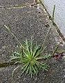 Plantago coronopus RF.jpg