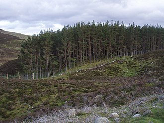 Ectomycorrhiza - Pine plantation, probably inoculated with fungal spores to allow beneficial ectomycorrhizas to form