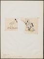 Platalea melanorhyncha - 1700-1880 - Print - Iconographia Zoologica - Special Collections University of Amsterdam - UBA01 IZ17600091.tif