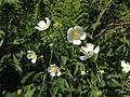 Platanen-Hahnenfuss - Platanenblättriger Hahnenfuss - Ranunculus platanifolius 6803.jpg