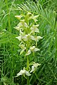 Platanthera chlorantha, Թիթեռնկախոլորձ, Любка зеленоцветковая - panoramio.jpg