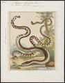 Platurus fasciatus - 1700-1880 - Print - Iconographia Zoologica - Special Collections University of Amsterdam - UBA01 IZ11800141.tif
