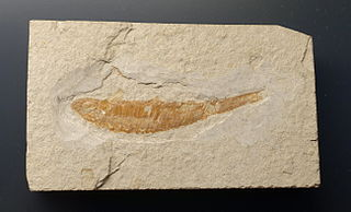 <i>Pleuropholis</i> genus of fishes (fossil)