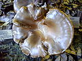 Pleurotus ostreatus.JPG