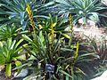 Poales - Vriesea amethystina 1.jpg