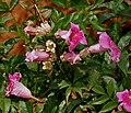 Podranea ricasoliana (Pink Trumpet Vine) in Hyderabad W2 IMG 5685.jpg