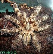 Poecilotheria bara (подросток).