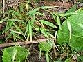 Pogonatherum crinitum 金絲草 1 (天問).jpg