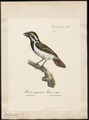 Pogonorhynchus leucomelas - 1825-1834 - Print - Iconographia Zoologica - Special Collections University of Amsterdam - UBA01 IZ18800015.tif