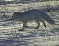 Polarfuchs 1 2004-11-17 denoise.tif