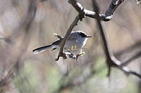 Polioptila nigriceps -Arizona-8