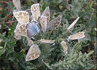 Axmålla besöks av fjärilar