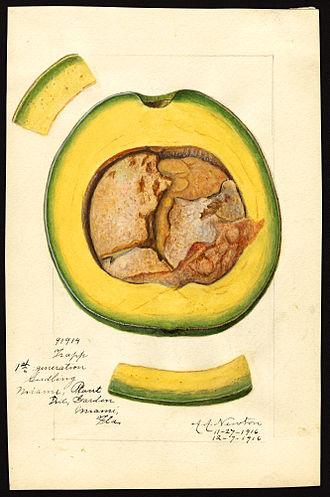 Amanda Newton (illustrator) - Trapp variety of avocado (Persea species), with  specimen originating in Miami, Florida; watercolor by Amanda Newton, 1916.