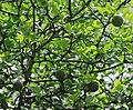 Poncirus trifoliata Prague 2011 2.jpg