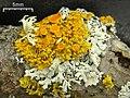 Poplar Sunburst Lichen (4506712812).jpg