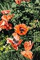 Poppy flowers in late July.jpg